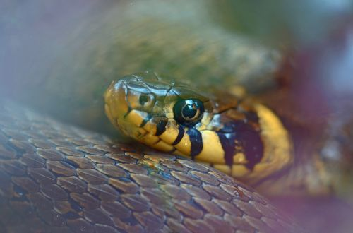 grass snake snake natter