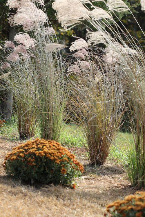 grasses chrysanthemum plant