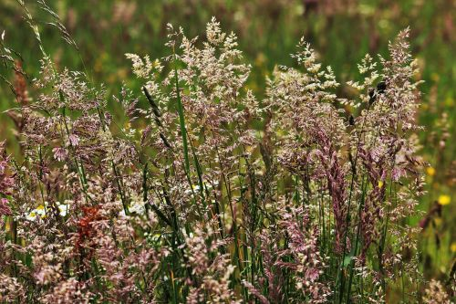grasses grass flowering grass