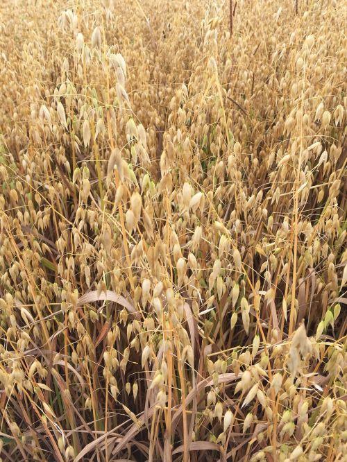žolės,grūdai,laukas,Žemdirbystė,kvieciai,ariama žemdirbystė,šiaudai,grūdai,gamta,grūdų kviečiai