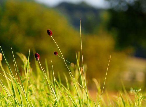 grasses grass sunset