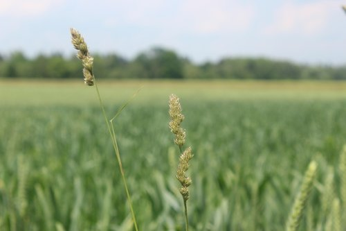 grasses  fields  grain fields