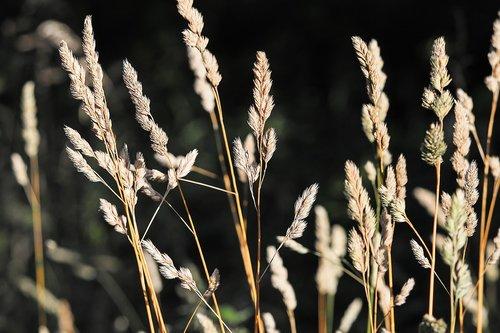 grasses  grass  spike