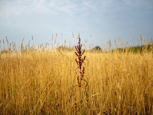 grasses  dry grasses  field
