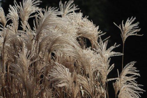 grasses  selloana  grass flowers