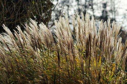 grasses reed flowers