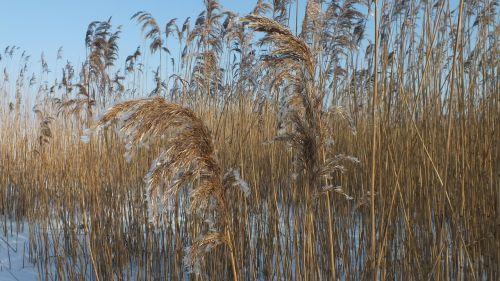 žolės,gamta,žiemą,snieguotas,žiemos magija,žiemos svajonė,sušaldyta