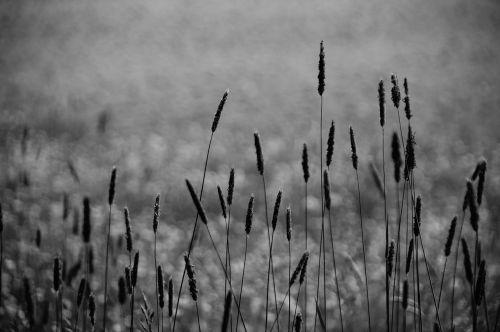grasses halme monochrome