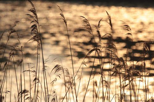 grasses nature friesland