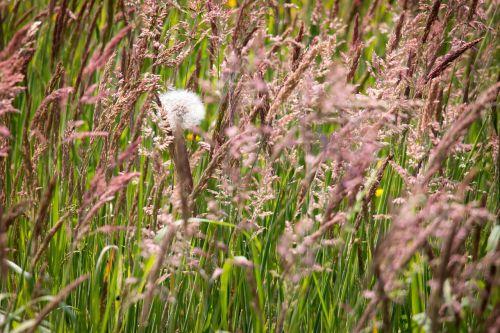 grasses dandelion grass