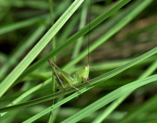 grasshopper katydid meadow katydid nymph