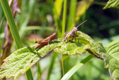 grasshopper cricket konik