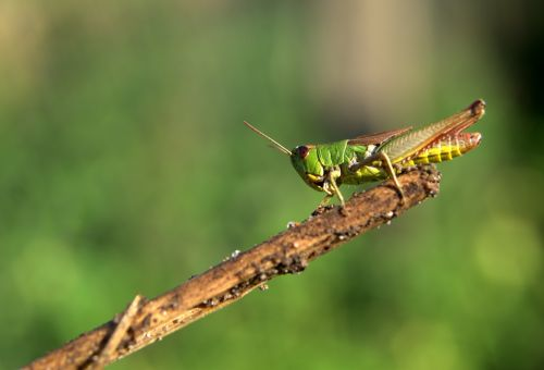grasshopper green insect