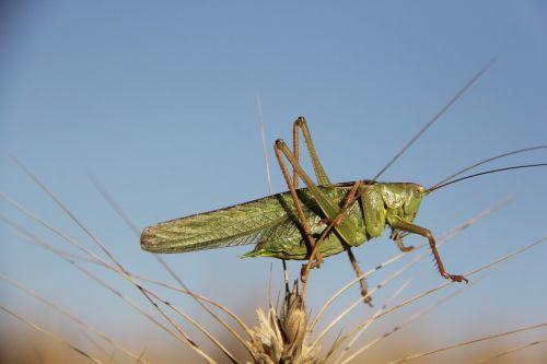 grasshopper bit pink cock animals