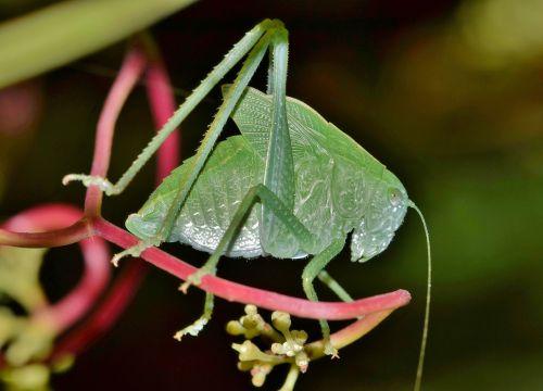 grasshopper katydid nymph
