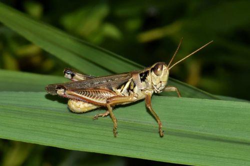 grasshopper hopper insect