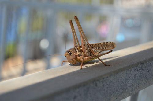grasshopper cricket animals