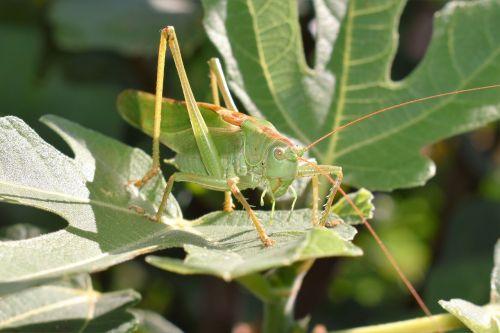 grasshopper green animal