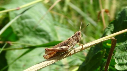 grasshopper insect grasshoppers