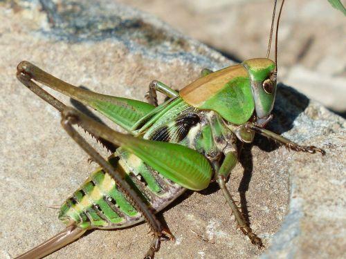 grasshopper green close