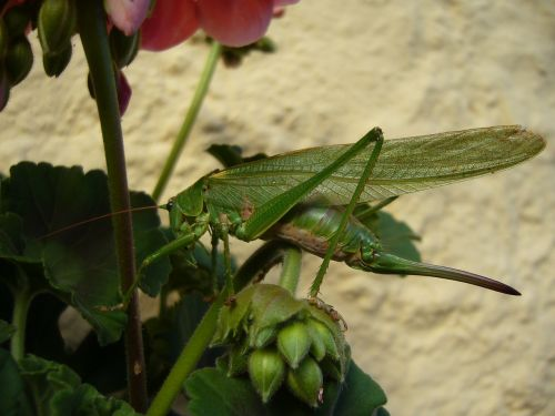grasshopper nature caelifera