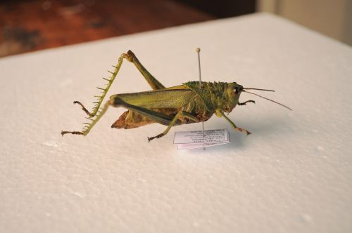 grasshopper insect entomology