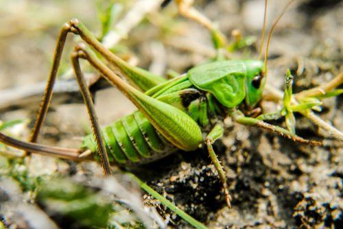 grasshopper konik field