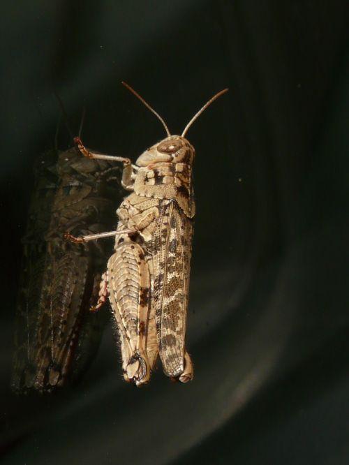 grasshopper brown italian locust