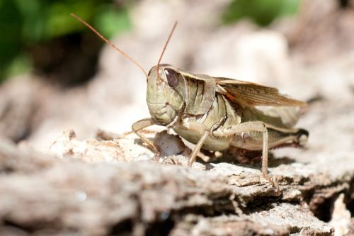 grasshopper nature insect