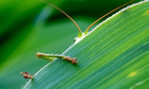 grasshopper viridissima green