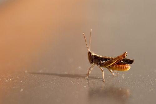 grasshopper tettigonia viridissima cricket