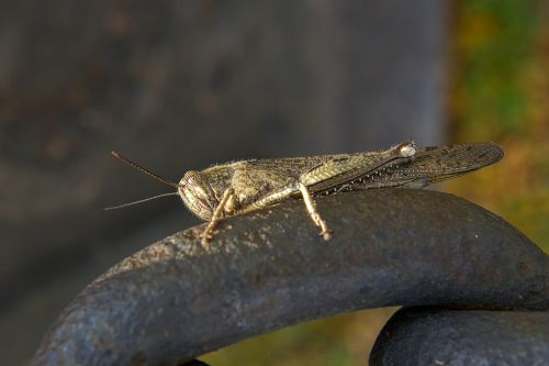 grasshopper insect bug
