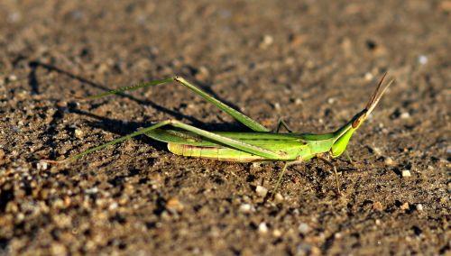 grasshopper insecta green