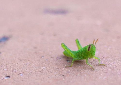 grasshopper nature macro