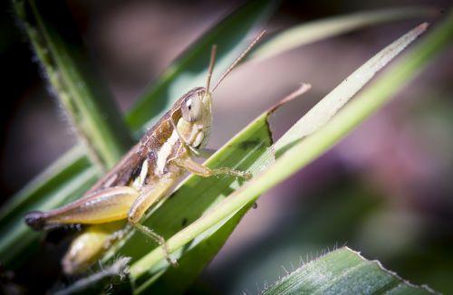 grasshopper natural asia