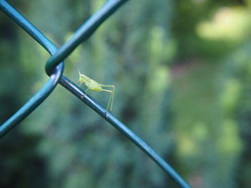 grasshopper insect garden
