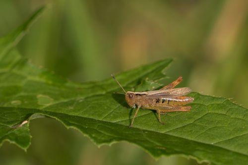 grasshopper grass forest