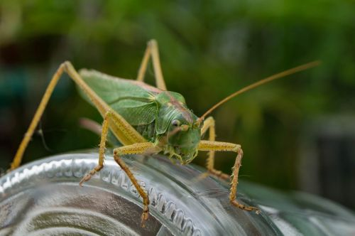 grasshopper insect close