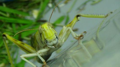 grasshopper desert locust migratory locust