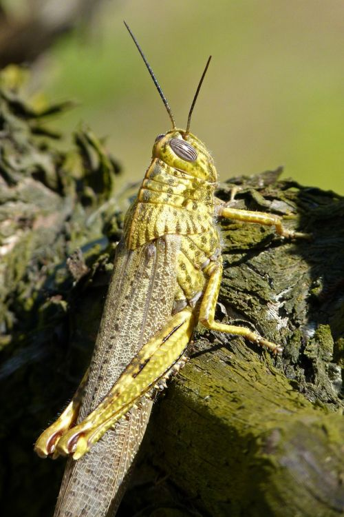 grasshopper lobster orthopteron