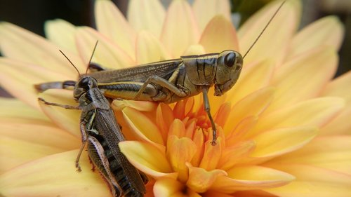 grasshopper  insect  flower