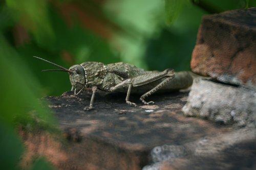 grasshopper  nature  stone