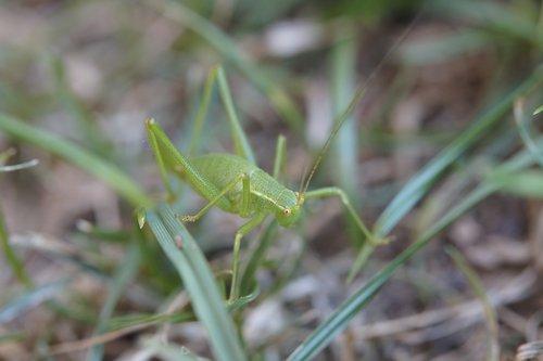 grasshopper  insect  grass