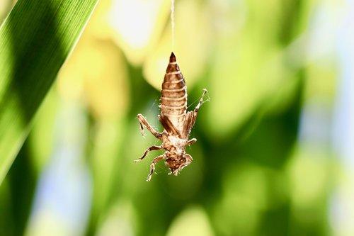 grasshopper  animal  nature