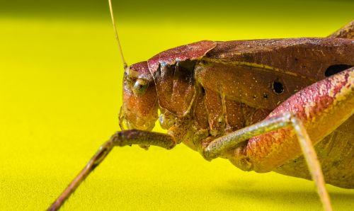 grasshopper viridissima insect