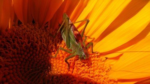grasshopper  blacksmith  locusts
