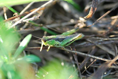 grasshopper  bug  insect