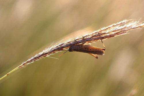 grasshopper  grass  insecta