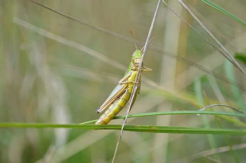 grasshopper  cricket  insect