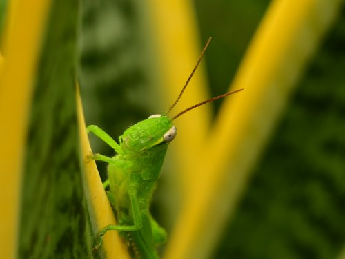 grasshopper  green hopper  antenna